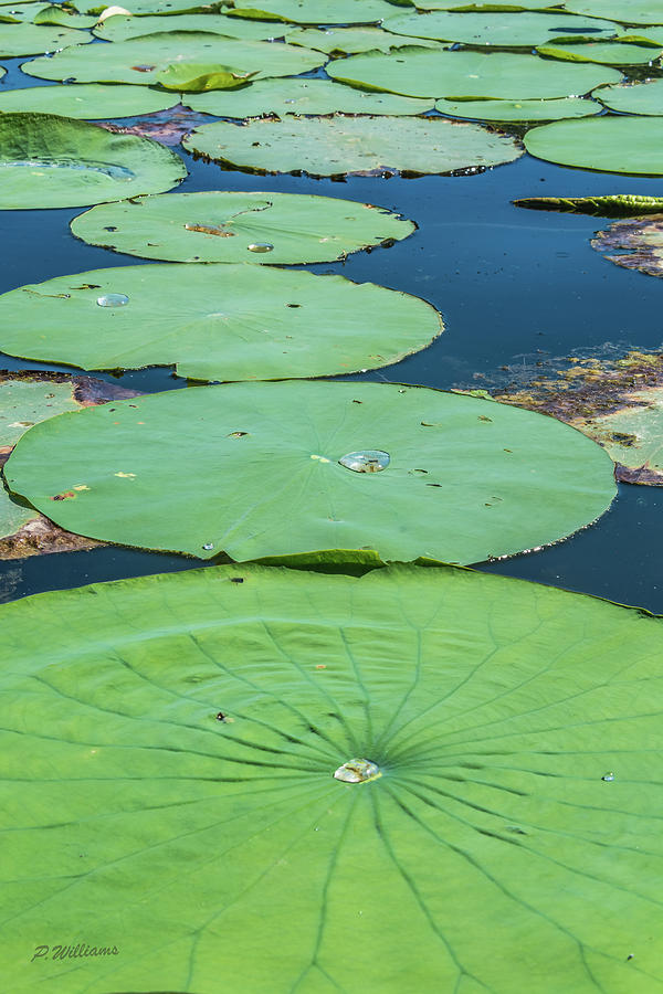Summer Lily Pads Photograph