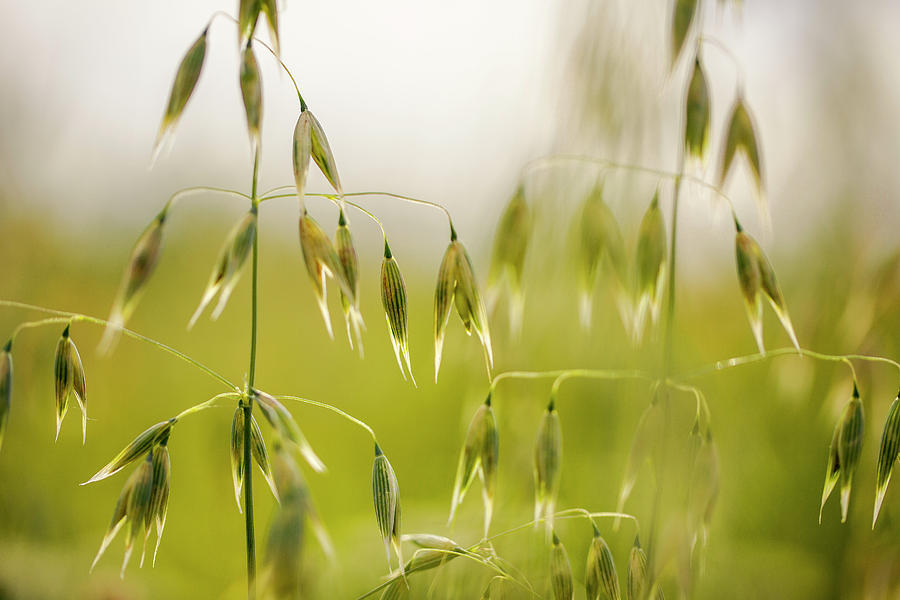 Oat Photograph - Summer Oat by Nailia Schwarz