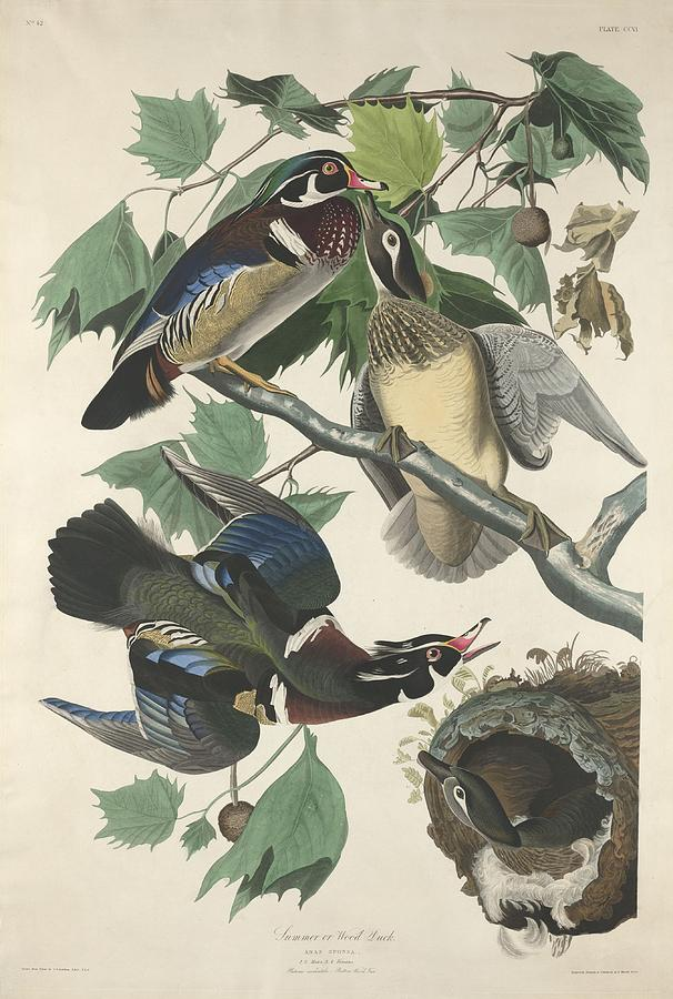 Audubon Drawing - Summer Or Wood Duck by Dreyer Wildlife Print Collections