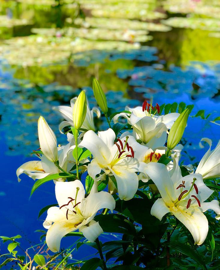 Monet Photograph - Summer Pond French Lilies by Anna Neuprandt