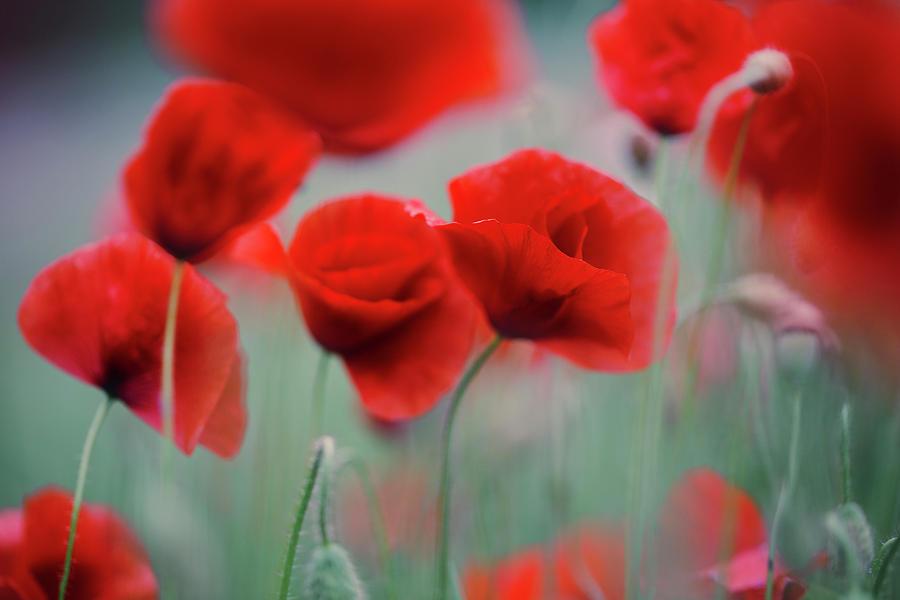 Poppy Photograph - Summer Poppy Meadow 2 by Nailia Schwarz