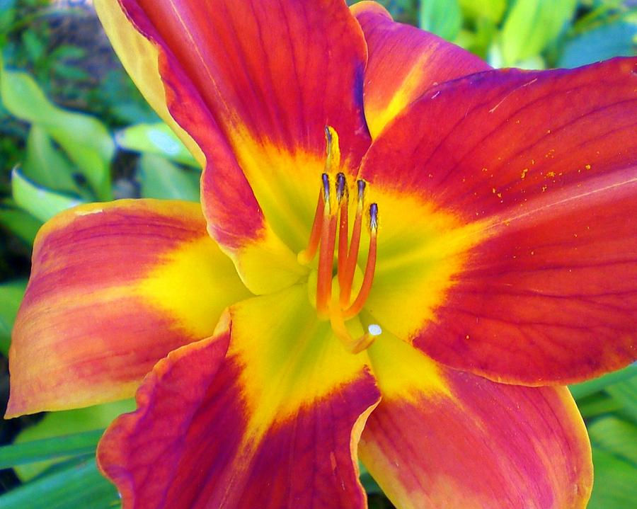 Nature Photograph - Summer Salsa Lily by Cynthia Daniel