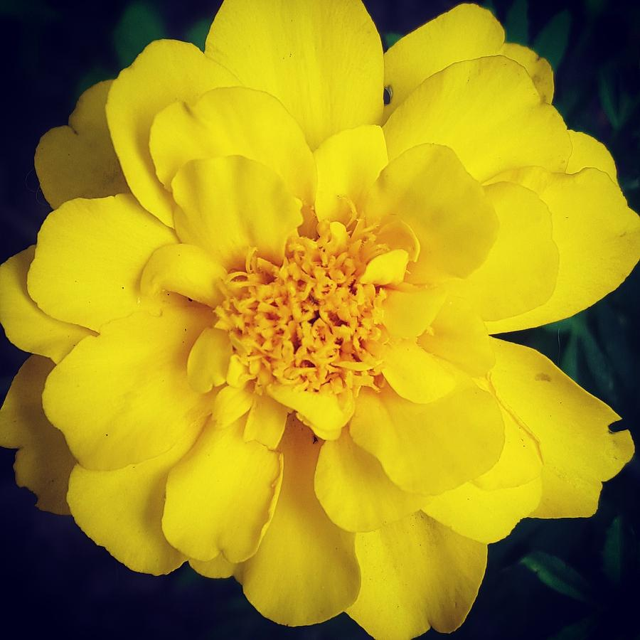 Yellow Photograph - Summer Solstice Marigold by Amy Jo Garner