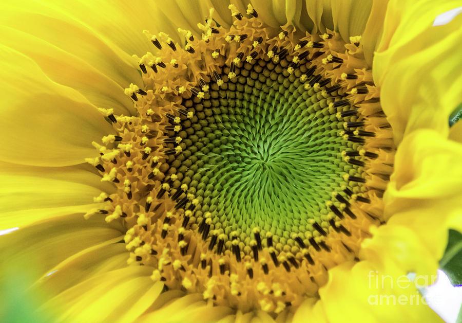 Summer Photograph - Summer Sunflower by Suzanne Luft