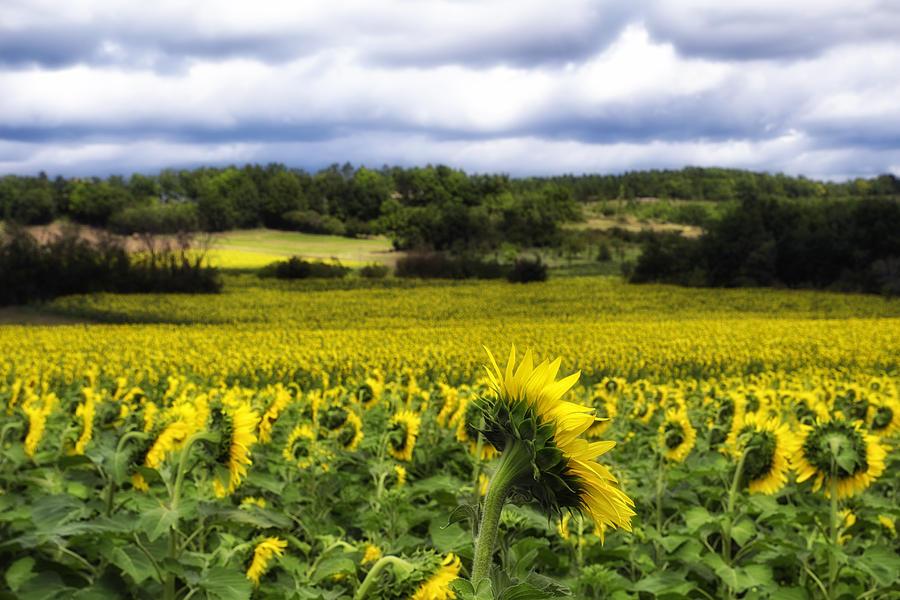Sunflowers Photograph - Summer Sunflowers by Georgia Fowler