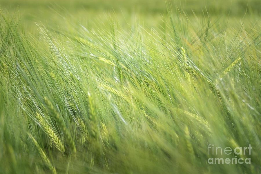 Summergreen Photograph