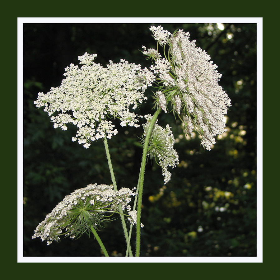 Queen Anne's Lace Photograph - Summers Delight by Ginger Howland