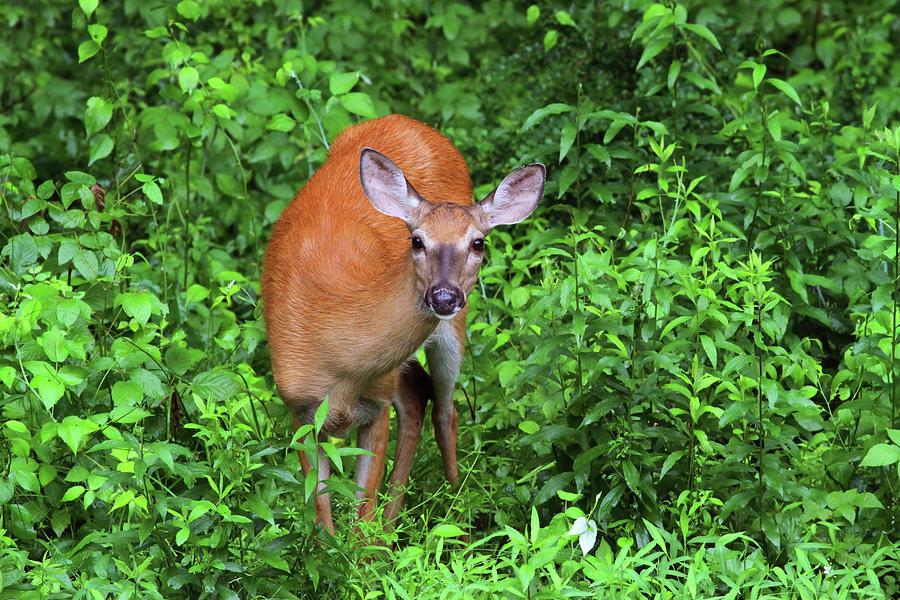 Deer Photograph - Summertime Visitor by Karol Livote