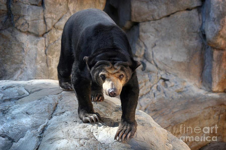 Sun Bear Photograph - Sun Bear by Jeannie Burleson