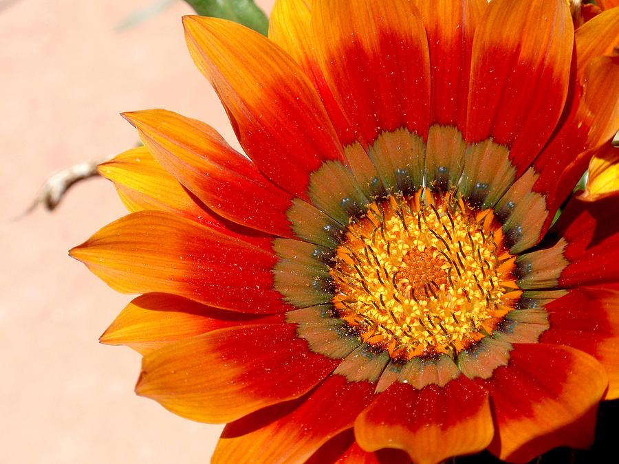 Flower Photograph - Sun Bloom Of Fire by Edan Chapman