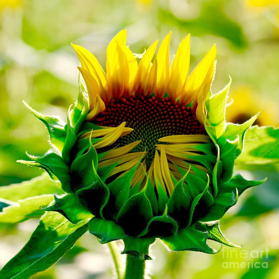 Sun Dreamer by Michelle Stradford