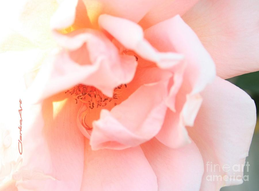 Roses Photograph - Sun-drenched Rose by Jean Clarke