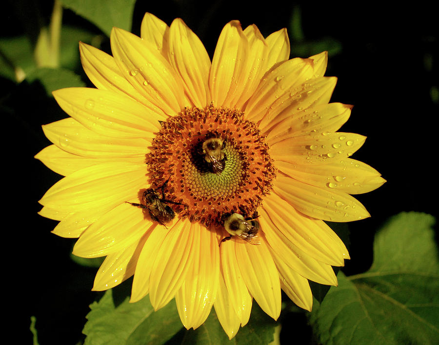 Sunflower Photograph - Sunflower And Bees by Nancy Landry