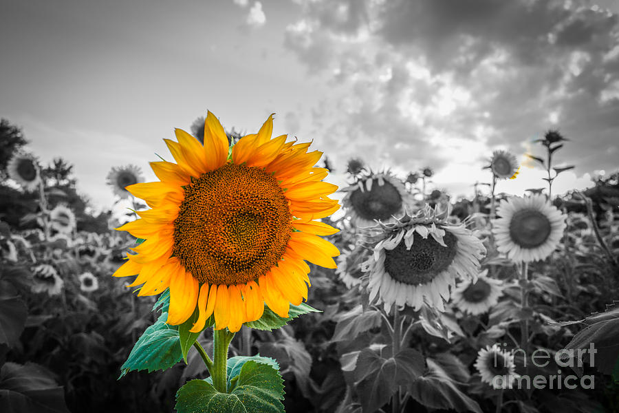Sunflower Photograph - Sun Flower B and W by Mina Isaac
