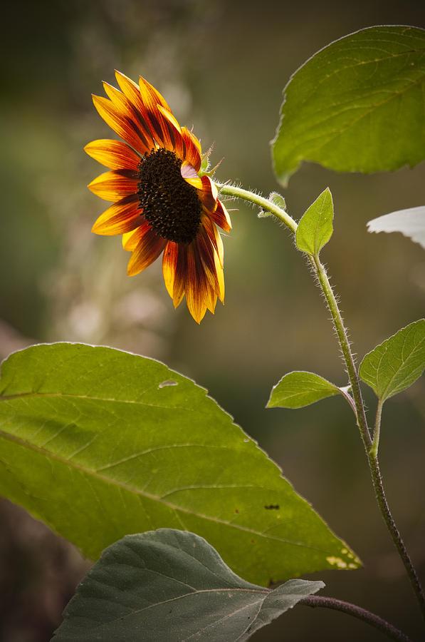 Flower Photograph - Sun Flower by Chad Davis