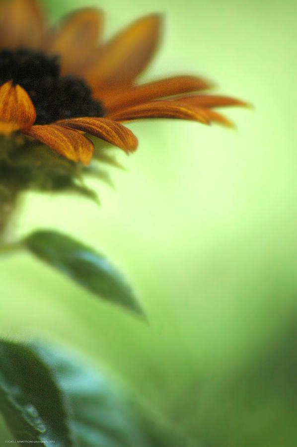 Sun Flower Photograph - Sun Flower by Lucas Armstrong