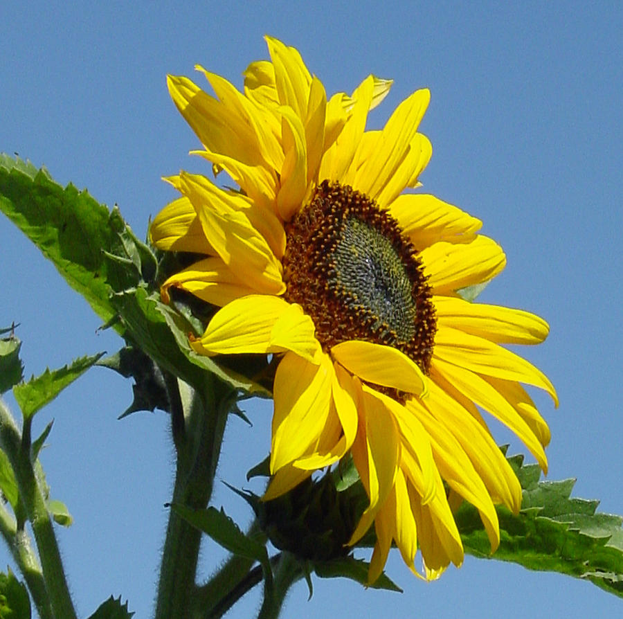 Sunflower Photograph - Sun Goddess by Suzanne Gaff