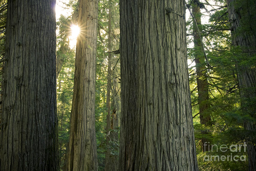 Cedar Photograph - Sun In The Cedars by Idaho Scenic Images Linda Lantzy