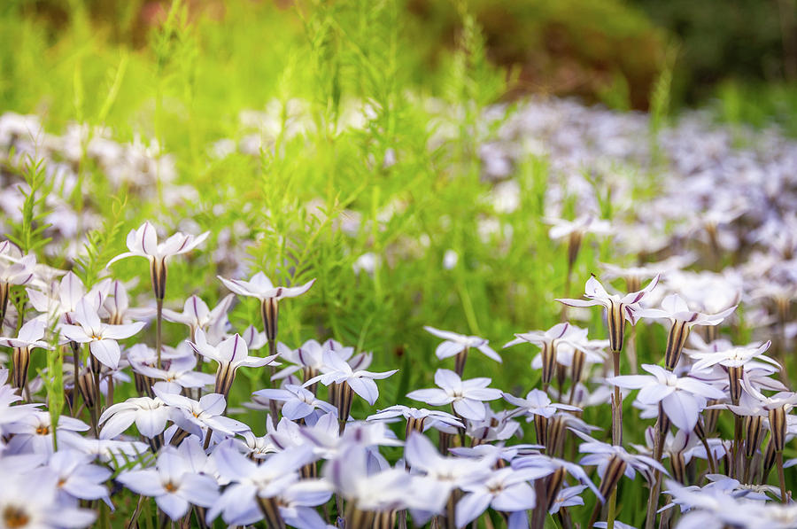 Sun kissed meadows with white star flowers photograph by daniela australia photograph sun kissed meadows with white star flowers by daniela constantinescu mightylinksfo