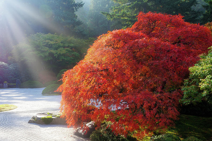 Japanese Photograph - Sun Rays over Old Japanese Maple Tree by David Gn