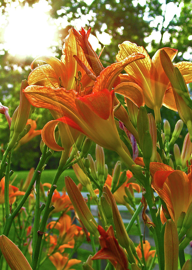 Liliy Photograph - Sun Through The Tiger Lily by Deborah Johnson