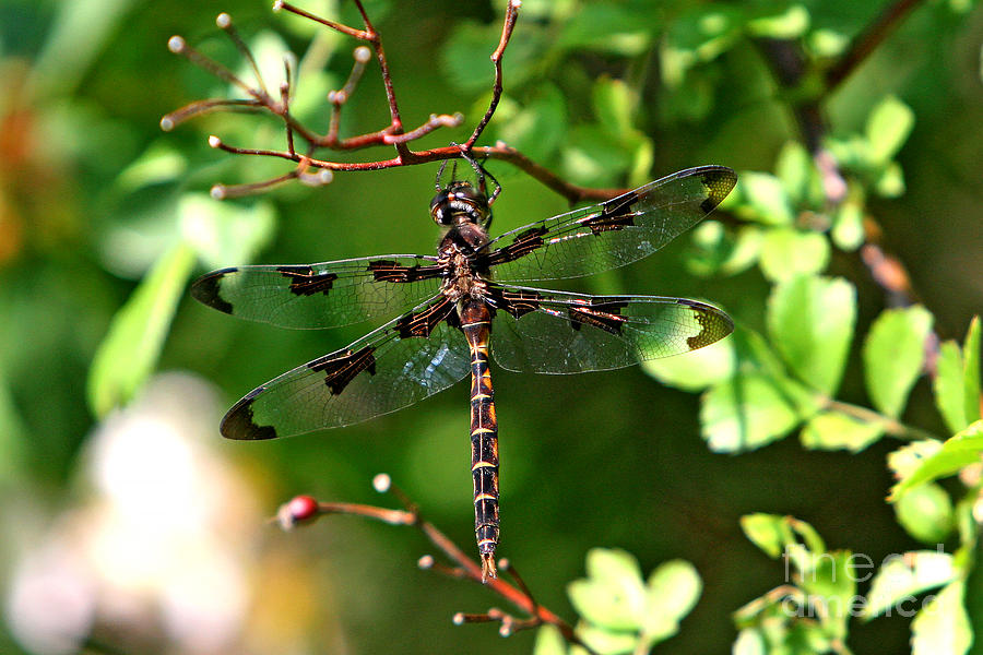 Dragonfly Photograph - Sunbathing  by Marle Nopardi
