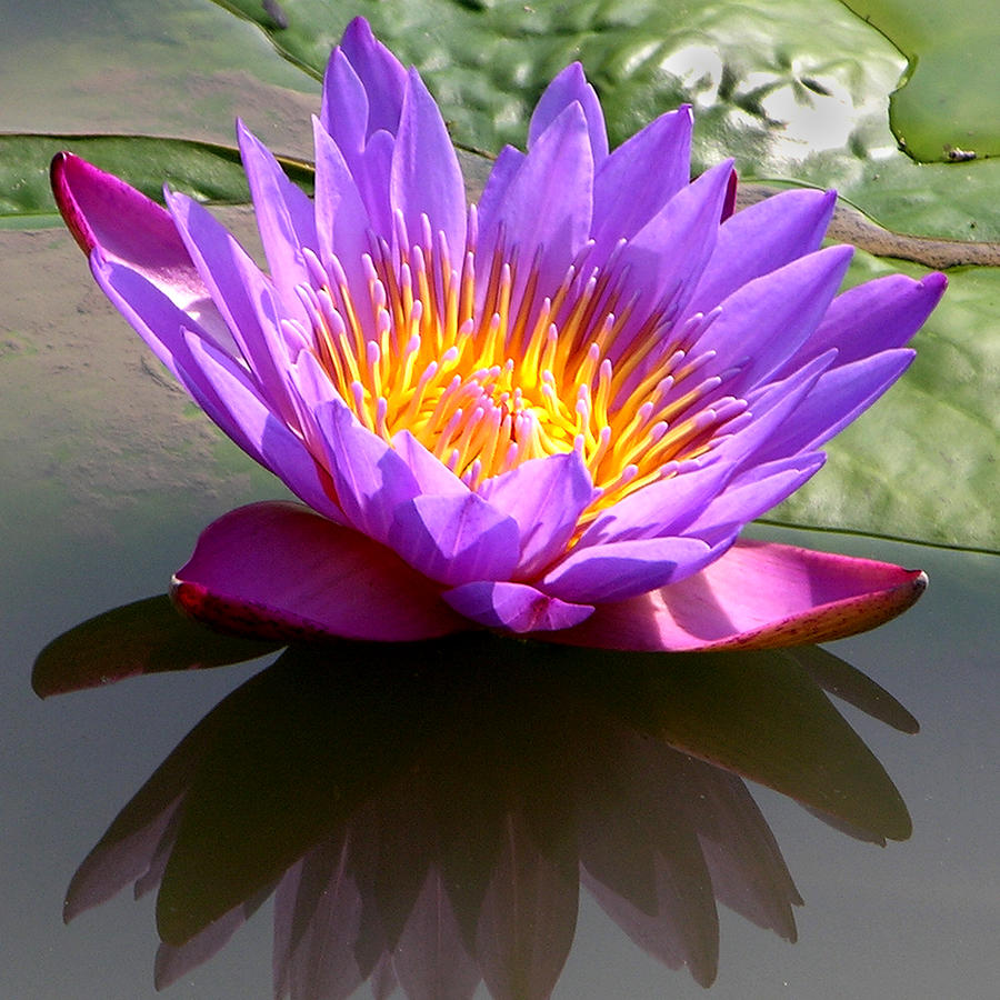 Water Lily Photograph - Sunburst Lily by John Lautermilch