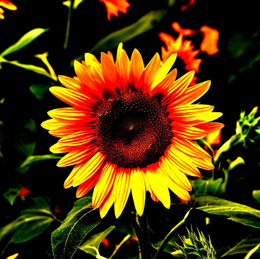Sunflower Photograph - Sunburst Of The Sunflower by Marc Mesa