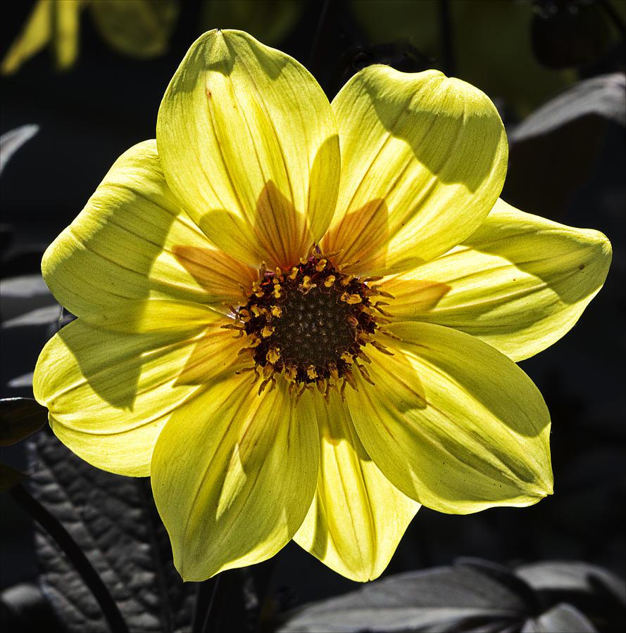 Flower Photograph - Sunburst by Robert Ullmann
