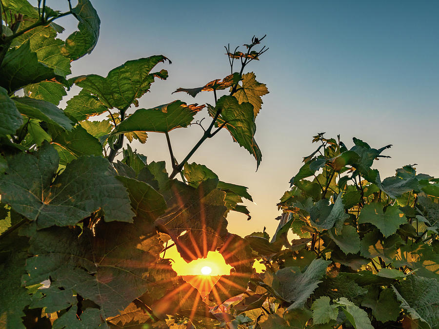 Germany Photograph - Sunburst through the Vines by Framing Places