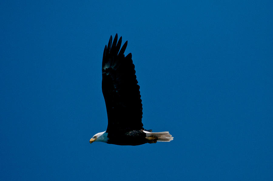 Eagle Photograph - Sunday Morning Flight by Paul Mangold