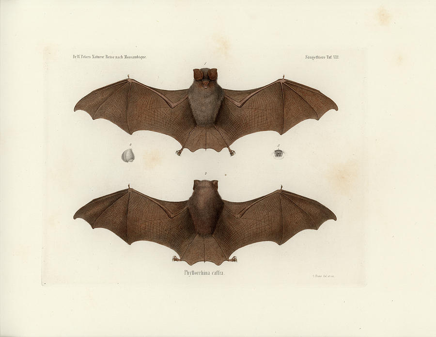 Sundevall's Roundleaf Bat, Hipposideros caffer by C H Haas