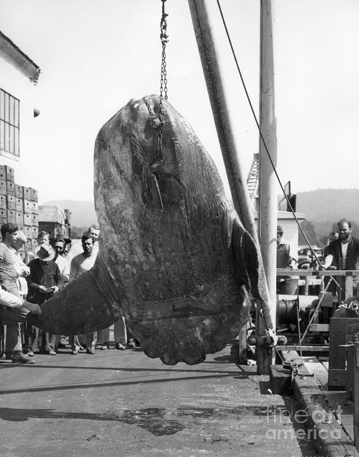 Mola Mola Photograph - Sunfish Mola Mola On Montereys Wharf Two June 20 1946 by California Views Archives Mr Pat Hathaway Archives