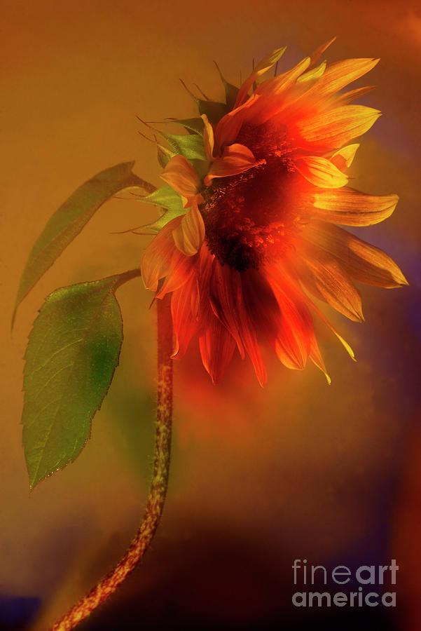 Sunflower # 8. Photograph