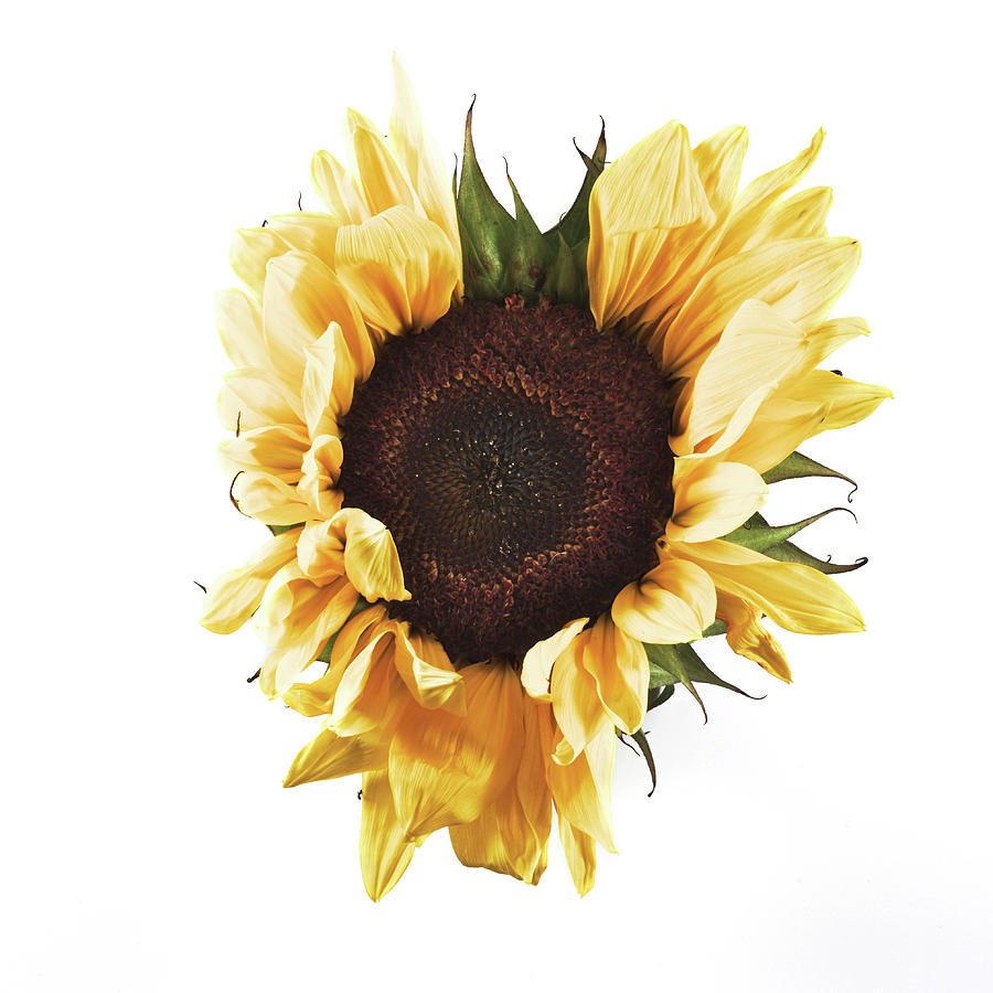 Sunflower #1 by Desmond Manny