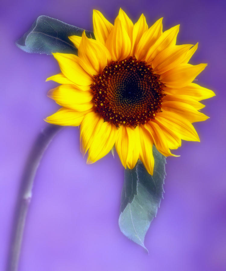 Flora Photograph - Sunflower 1 by Joseph Gerges
