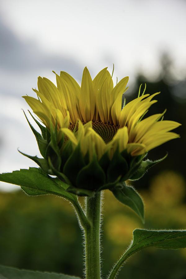 Sunflower 1 by Lindy Grasser