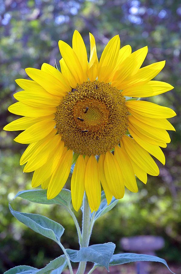 Sun Flower Photograph - Sunflower 1 by Mickie Boothroyd