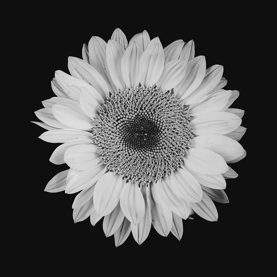 Sunflower #10 by Desmond Manny