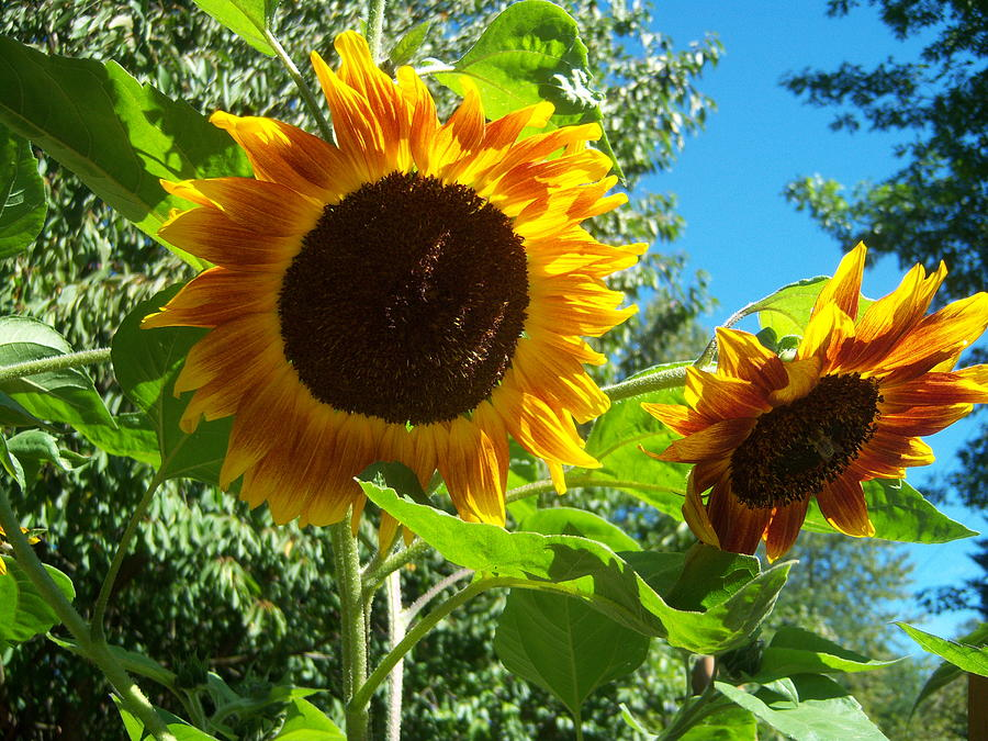 Sun Photograph - Sunflower 102 by Ken Day
