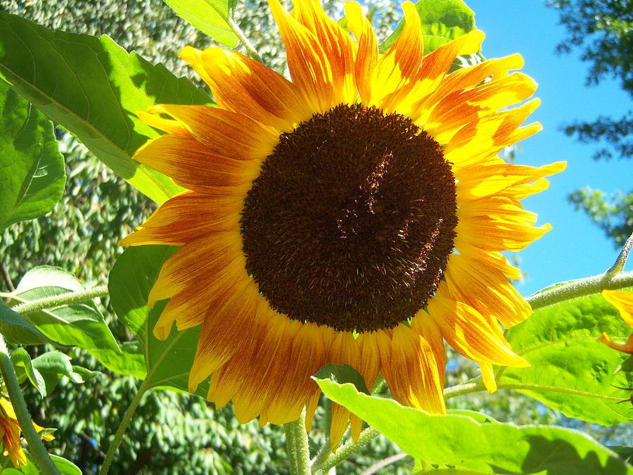 Sun Photograph - Sunflower 103 by Ken Day