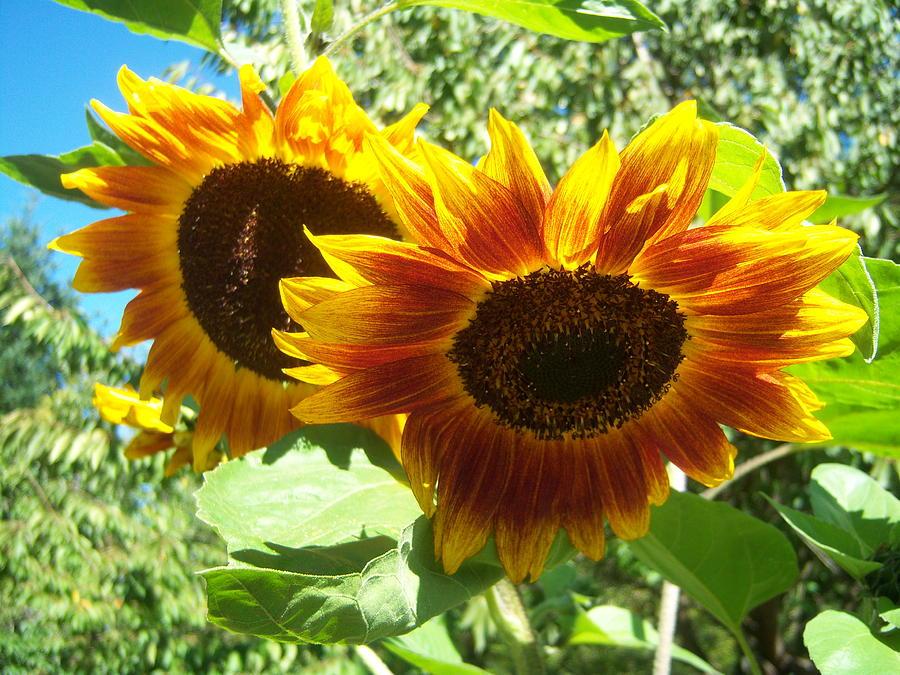 Sun Photograph - Sunflower 115 by Ken Day
