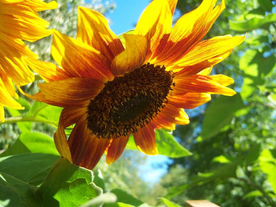 Sun Photograph - Sunflower  119 by Ken Day