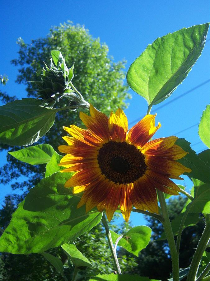 Sun Photograph - Sunflower 120 by Ken Day
