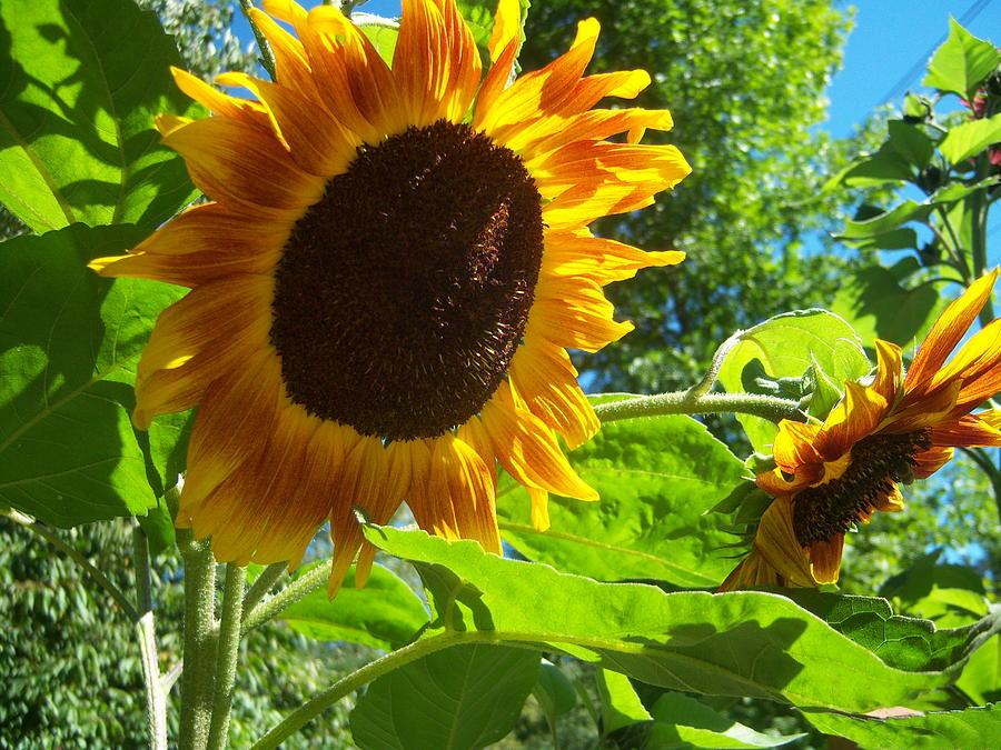 Sun Photograph - Sunflower 122 by Ken Day