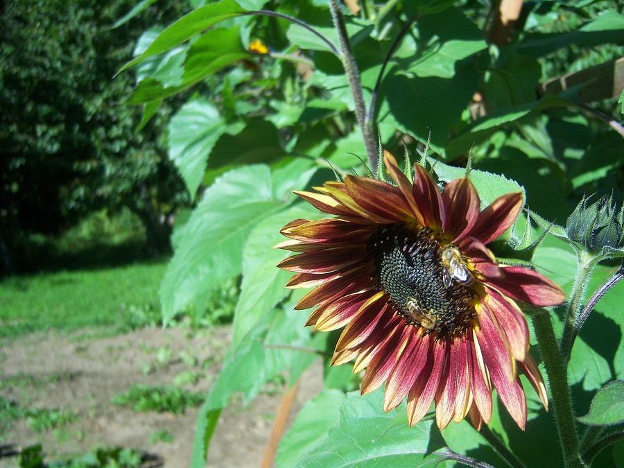 Sun Photograph - Sunflower 134 by Ken Day