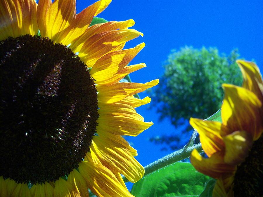 Sun Photograph - Sunflower 138 by Ken Day