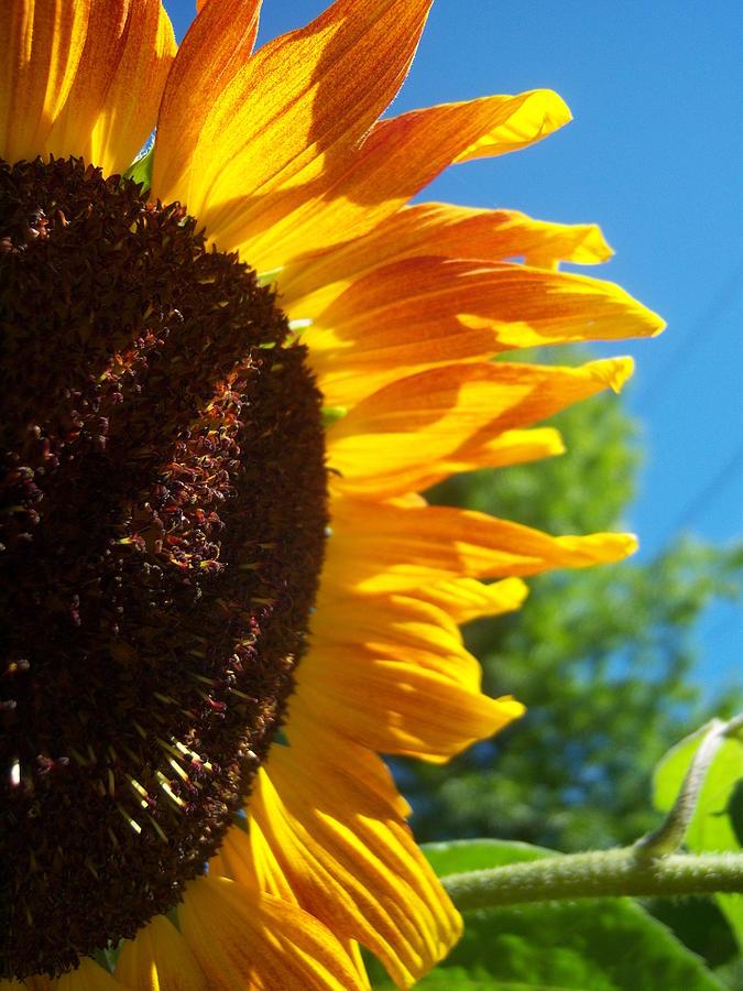 Sun Photograph - Sunflower 139 by Ken Day
