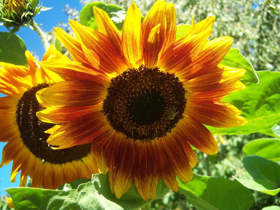 Sun Photograph - Sunflower 140 by Ken Day