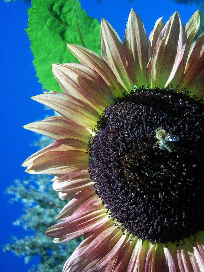 Sun Photograph - Sunflower 142 by Ken Day